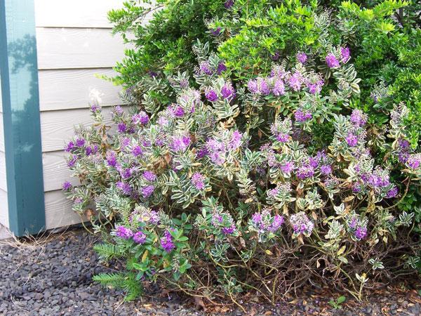 O cultivo a vida novembro 2011 for Hebe arbusto