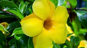 Khasiat Bunga Alamanda untuk Kesehatan
