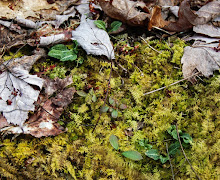 Native woodland plant list