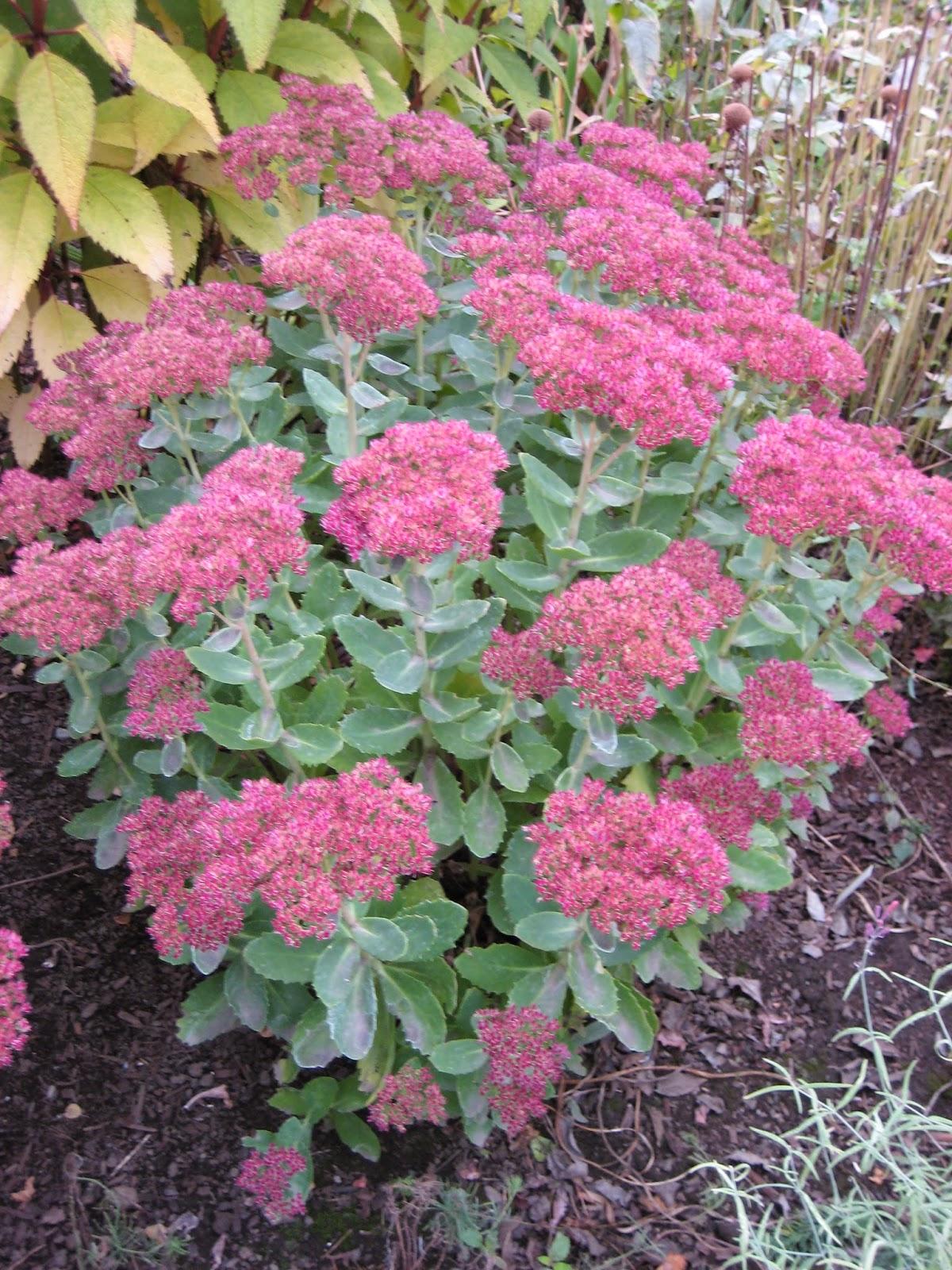 Fabulous Fall Perennials And Shrubs Susans In The Garden