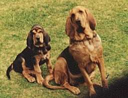 Choosing Best Dogs For Kids Information bloodhound