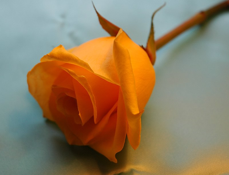 Posted by Muhammad Ramzi Mustafa at 05 11Orange Roses Wallpaper