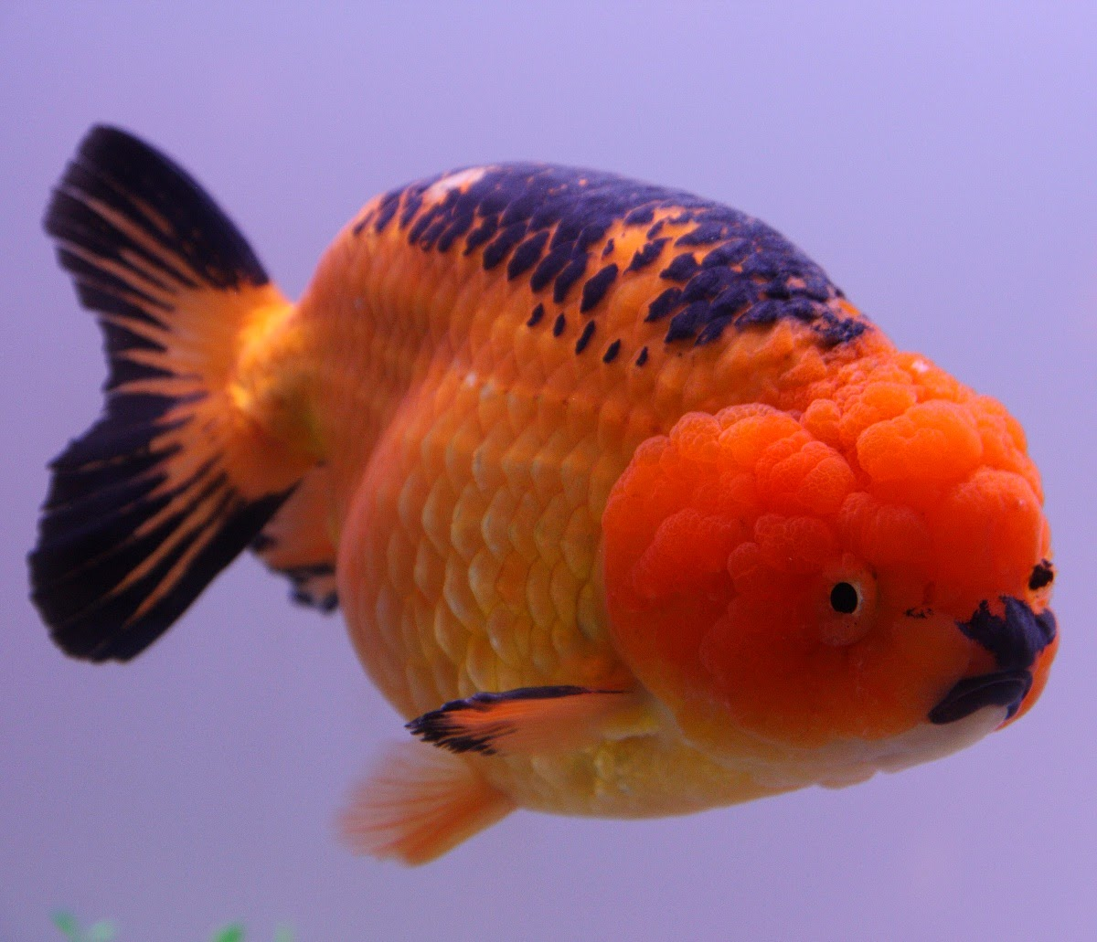 Blok888 top 10 most beautiful freshwater fish in the world 1 for Koi fish size