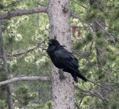 raven at Gibbon Falls
