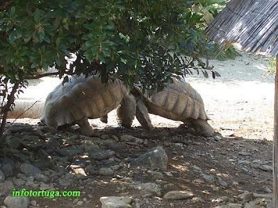 Dos machos de tortuga de espolones peleando