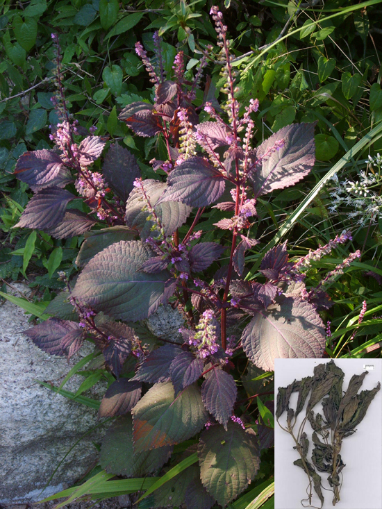 Perilla frutescens (L.) Britt. (Fam. Lamiaceae)