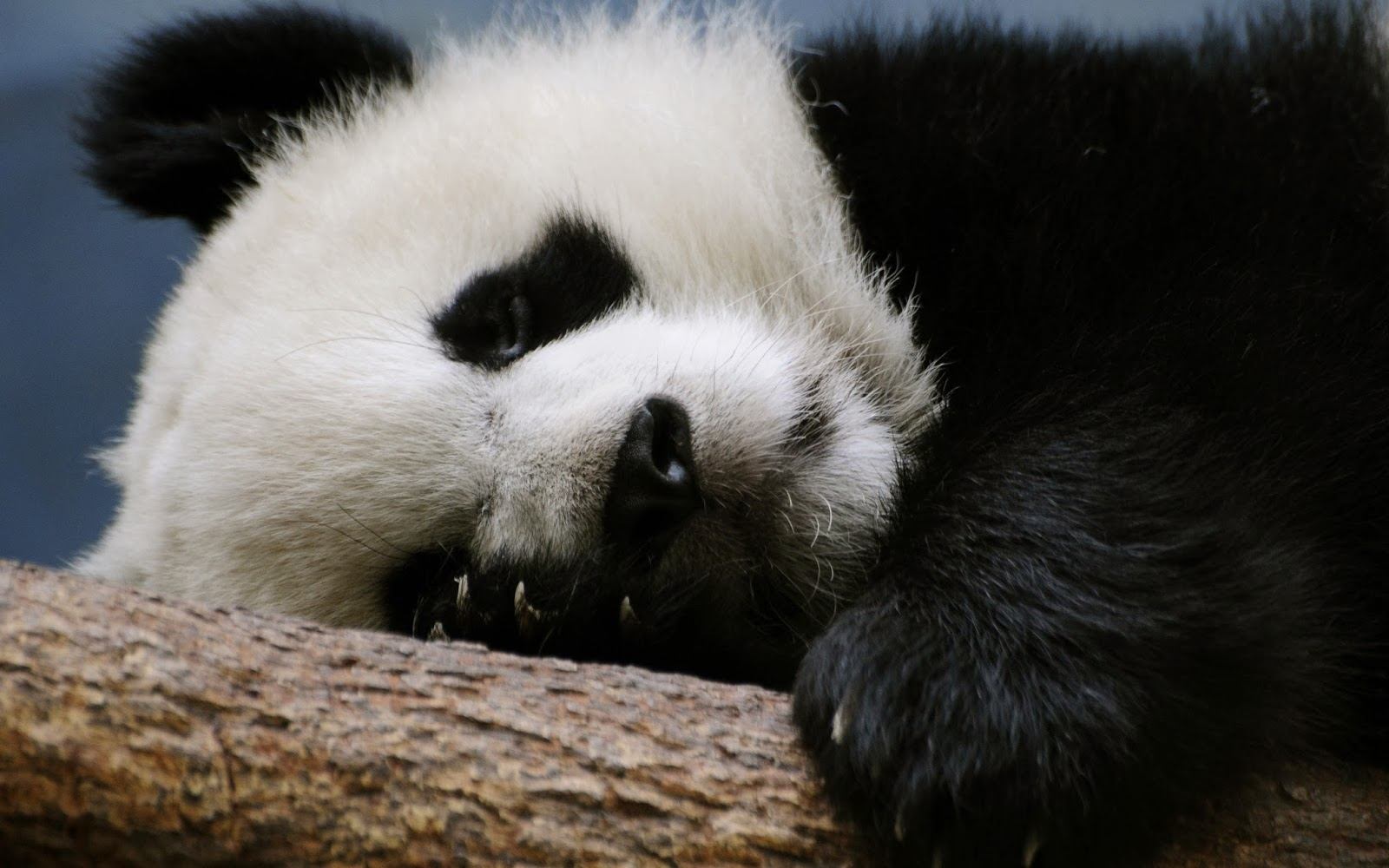 Cute Panda Wallpapers Baby Free Kung Fu Tare Giant