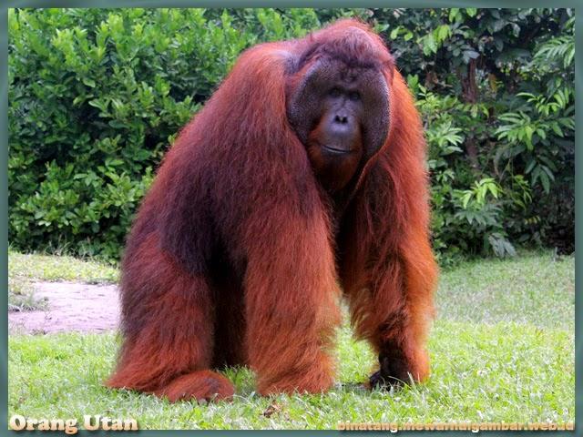 gambar binatang dari huruf O orangutan
