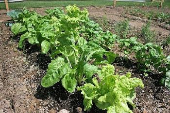 Already eating lettuce!