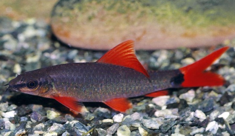 freshwater rainbow shark images