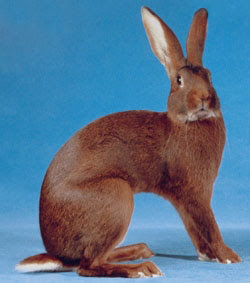 Continental giant rabbit for sale   Gravesend, Kent