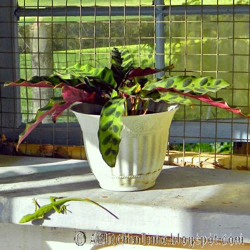 Rattlesnake Plant and Chameleon