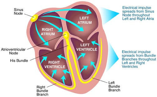 Know ur heart conduction system of the heart sinoatrial node the sa node is located in the wall of the ra in the upper part of the sulcus terminalis just to the right of opening of the svc ccuart Image collections