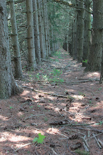 Scattered pine cones in a pine tree tunnel provide many uses in craft projects as well as food and medicinal purposes.
