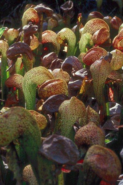 Bentuk tanaman ini memiliki daun yang bercabang mirip seperti lidah