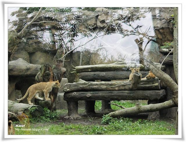 木柵動物園Taipai Zoo-獅子