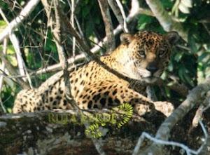 Jaguar de la Selva
