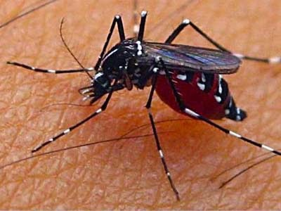 Bahaya Nyamuk