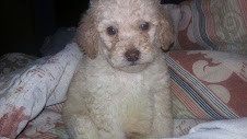 Mini Multi-Gen Goldendoodle Puppies, 15-25 lbs, Available by February, 2017