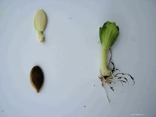 Βάθος σποράς και απόσταση φύτευσης λαχανικών