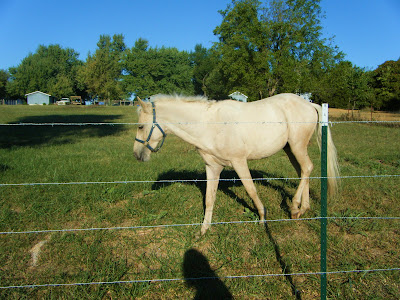 looking through a barbed-wire fence into a green pasture, you see a cream-colored horse