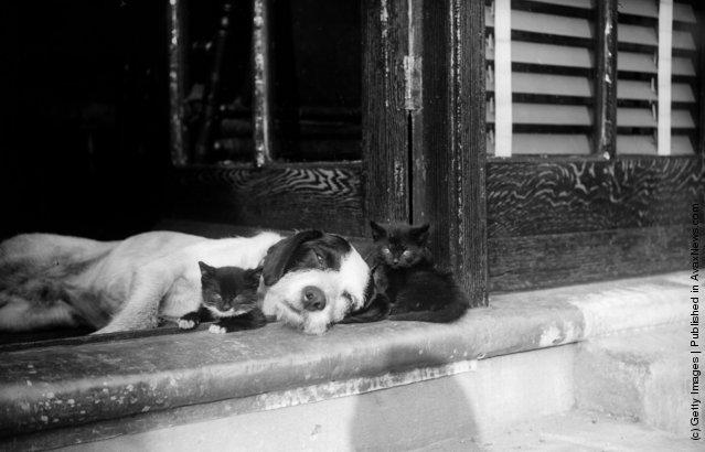 Два котенка и сонная собака. (Май 1929 г.)