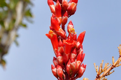Ocotillo flower, close-up