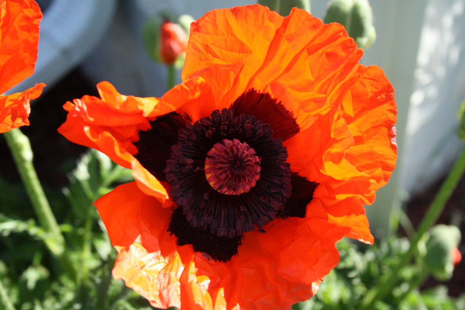 Captive Creativity Oriental Poppy Plant Care