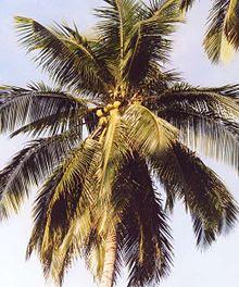 Penjelasan Tentang Pohon Kelapa