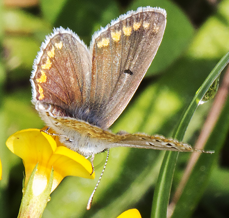 Brown Argus, Aricia agestis.  Near Downe, 23 August 2014.