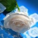 Bijela ruža download besplatne slike pozadine za mobitele