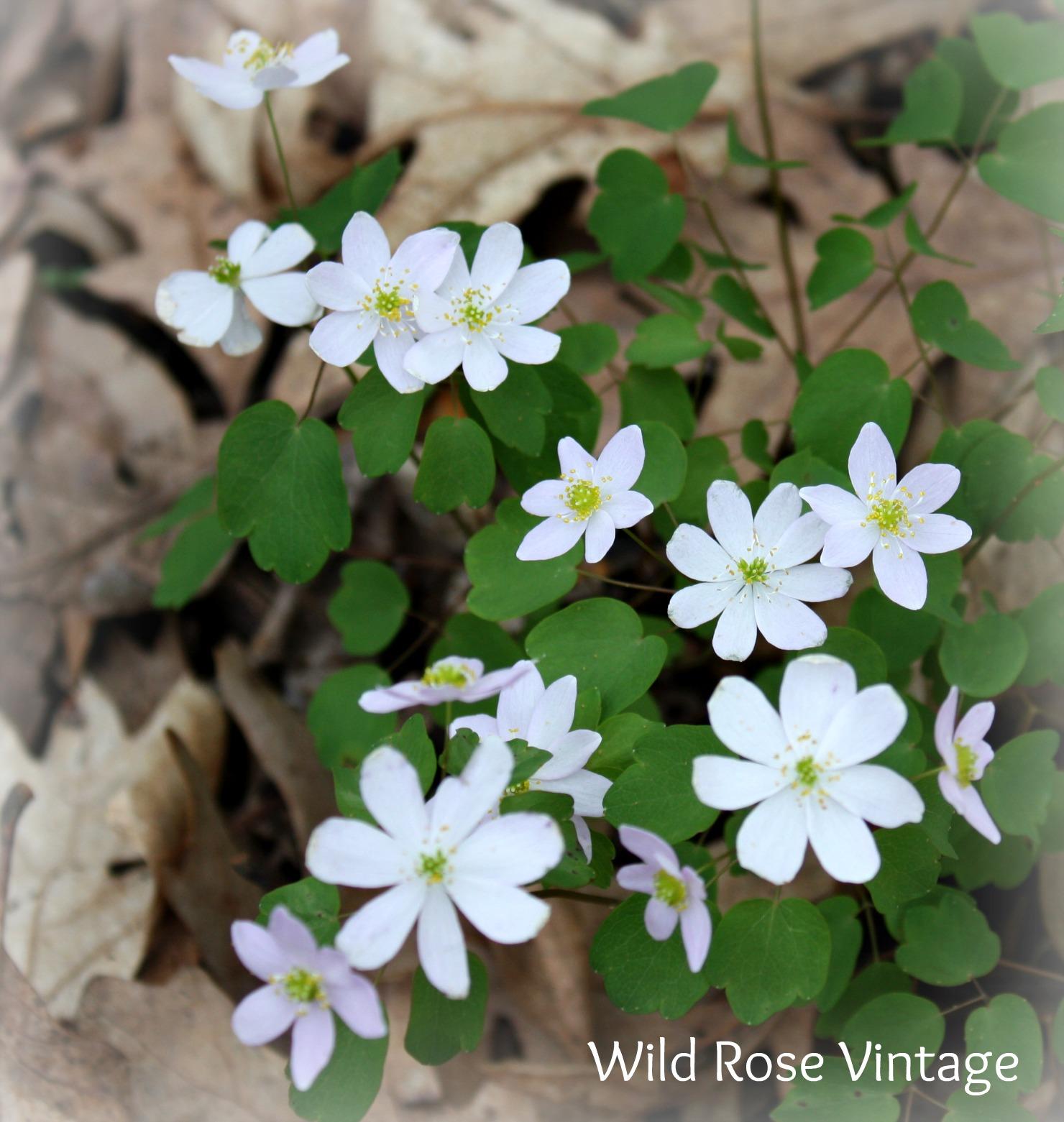 Wild Rose Vintage White Violets