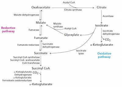 The Citric acid cycle, or Krebs (TCA) cycle Tmp
