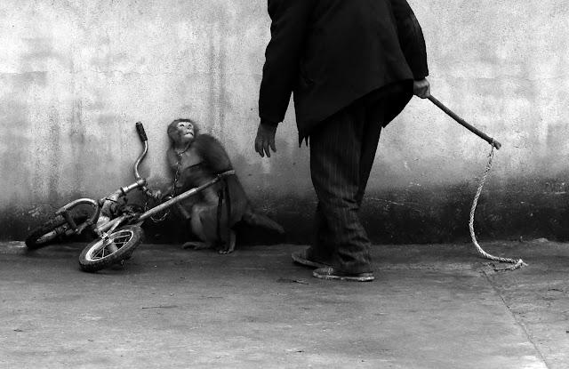 World Press Photo Contest 2015, Naturaleza, Nature, Monkey Training for a Circus, Yongzhi Chu