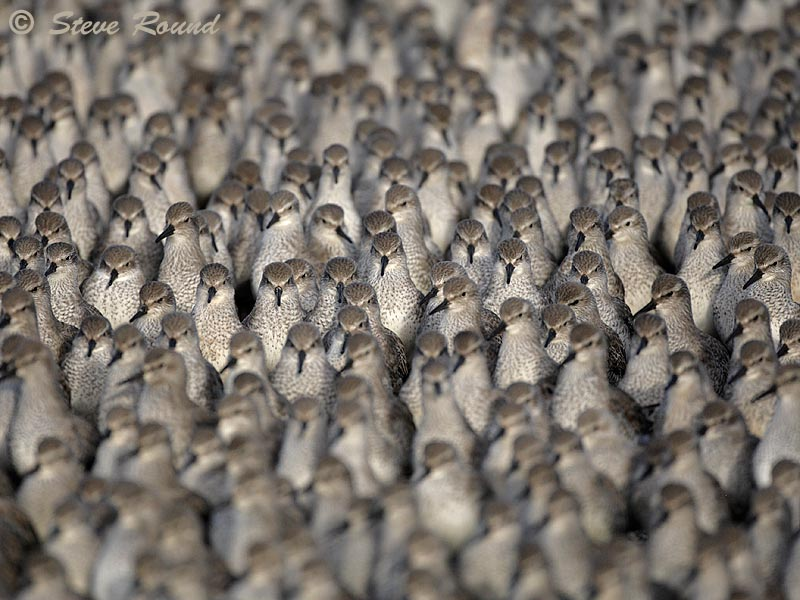 bird, nature, wildlife, wader, flock, roost
