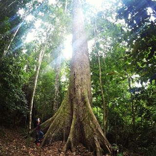 Tawau Hills Park Tallest Tropical Tree