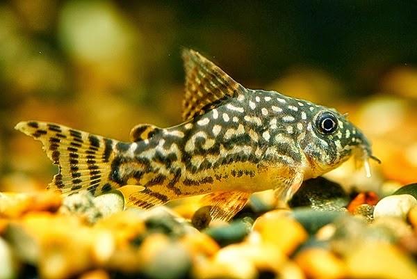 Si Ikan Tongkol Indonesia Menjadi Negara Eksportir Ikan Hias Terbesar