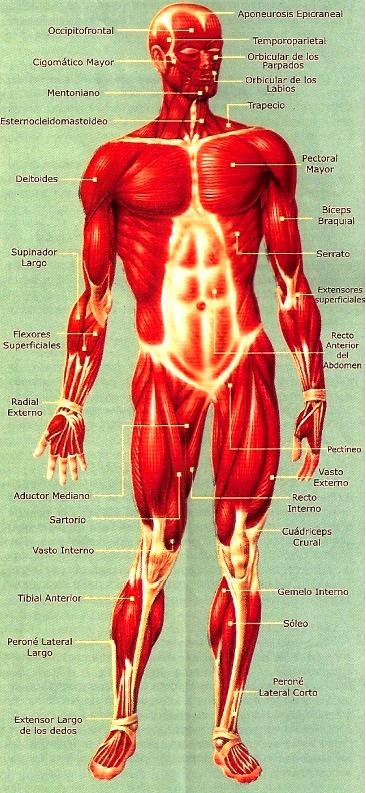 Lámina del Sistema Muscular del Cuerpo Humano