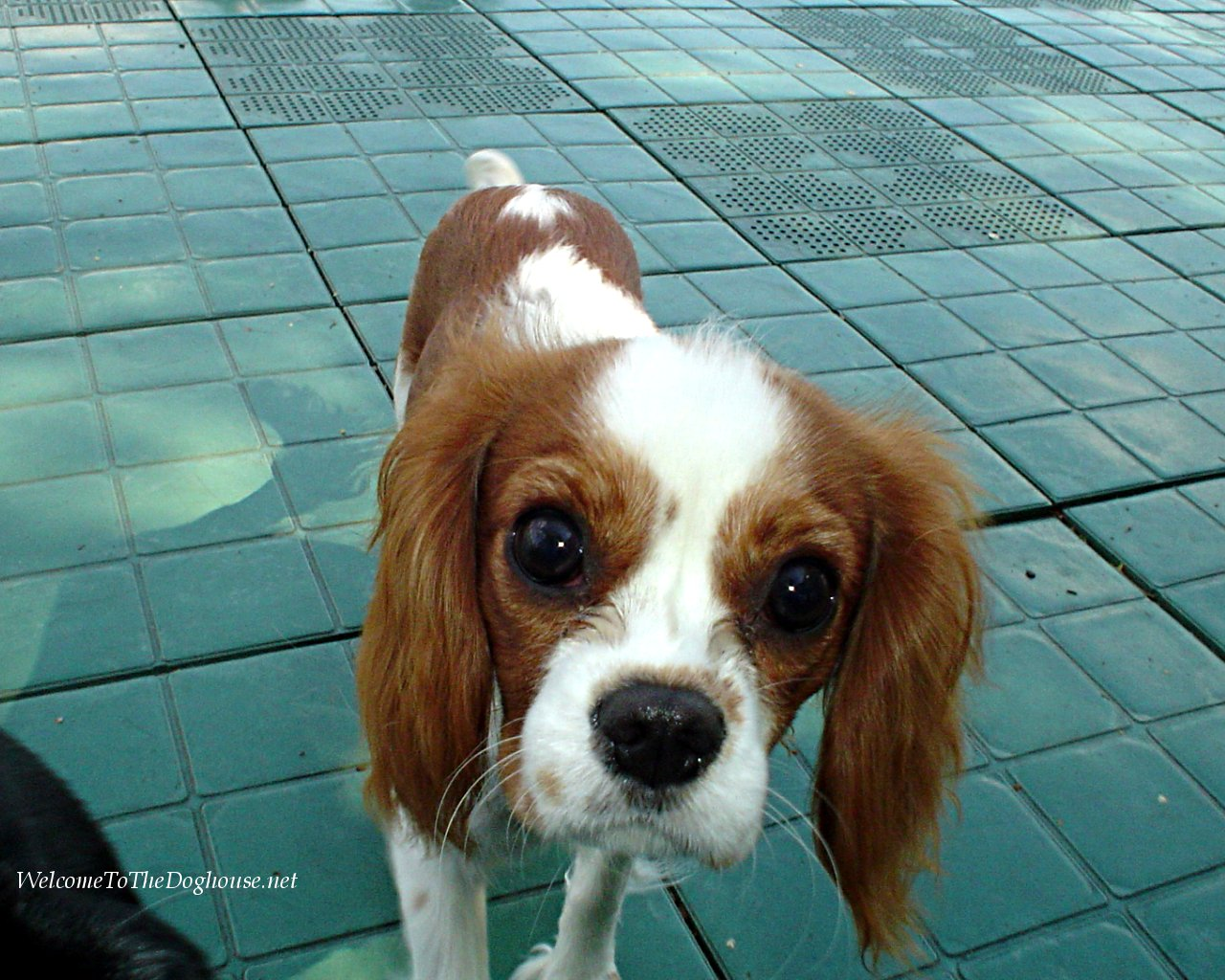 Cavalier king charles spaniel dog breeds pictures cavalier king