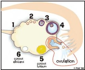 Ovulation On Clomid