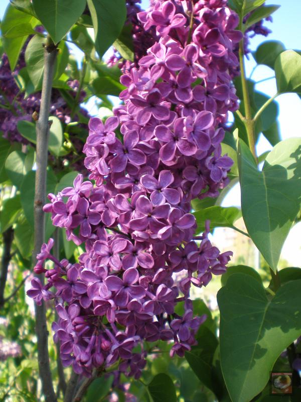 Syringa vulgaris, llilo, lilas comunes