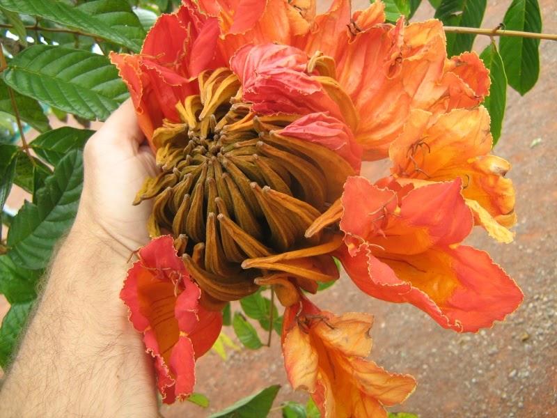 Tulipier du gabon flore de l le de la r union for Entretien jardin reunion