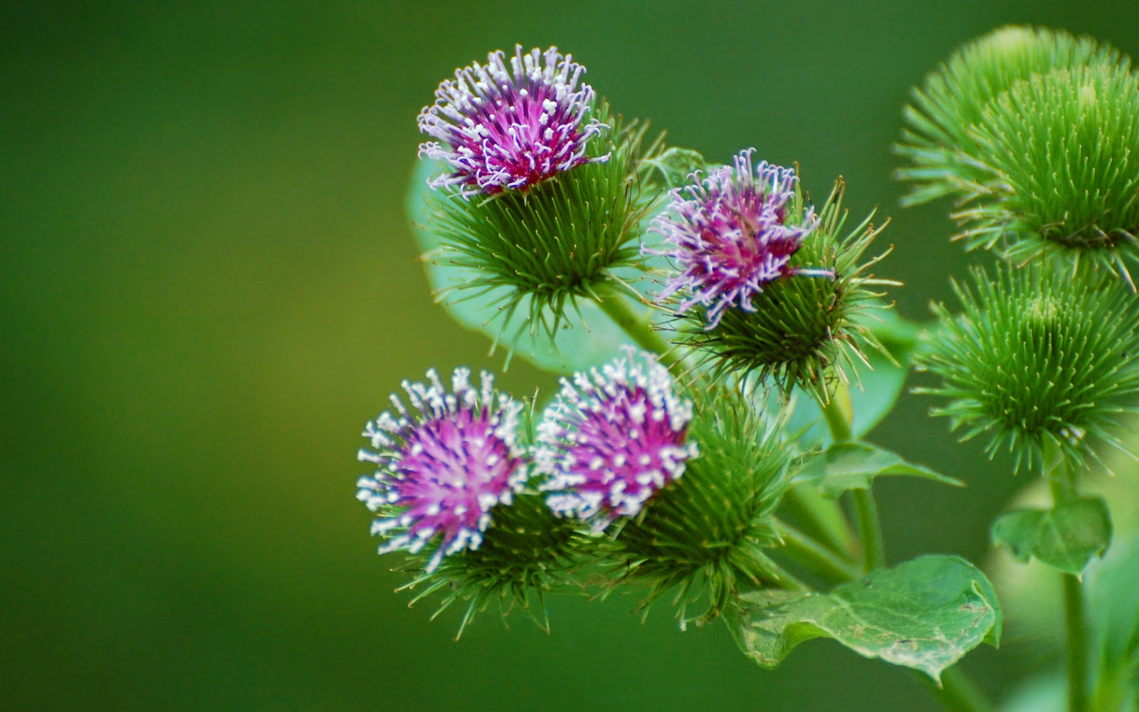 Benefits Of Burdock (Arctium Lappa) For Health