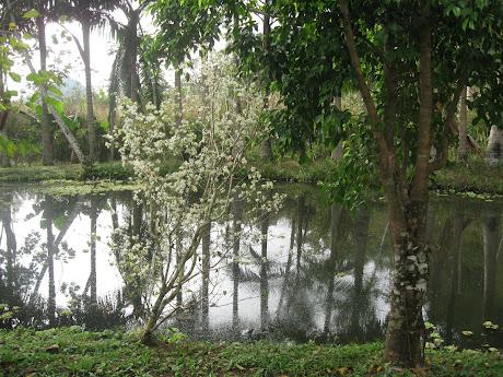 Florada da Pintangueira