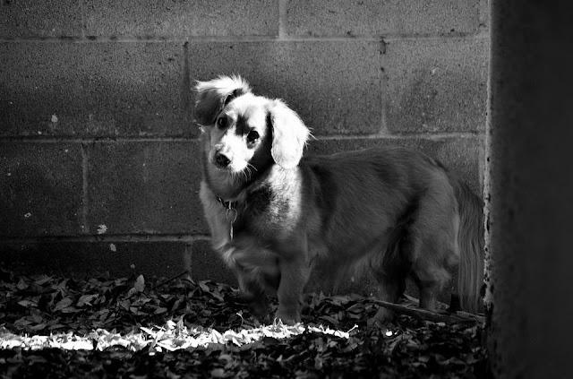 Dachshund Dog History