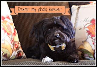Dexter Havanese Puppy