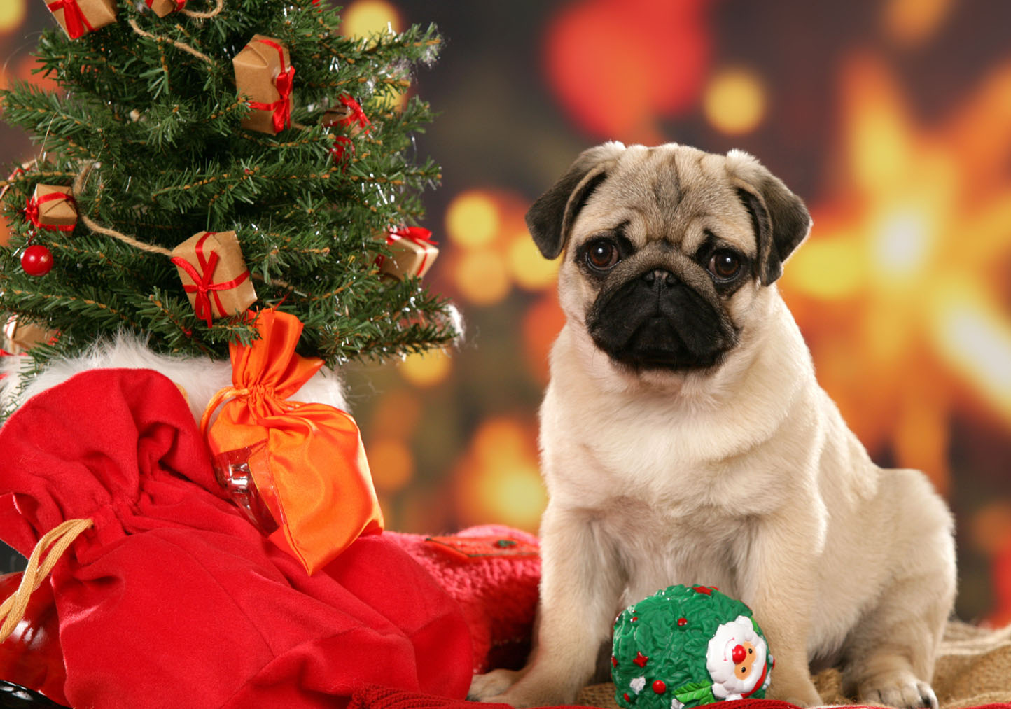 Alison Gallery: pug wallpapers