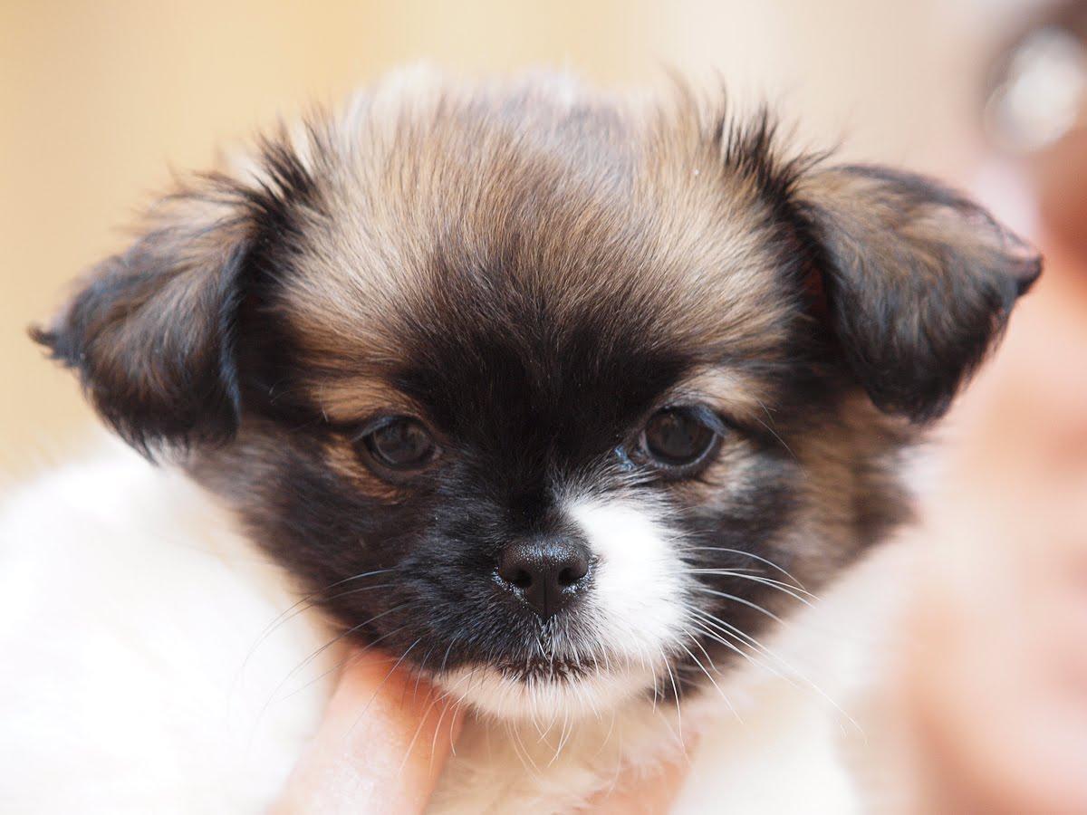 Yorkie Maltese Chihuahua Mix Puppies Yorkie maltese pomeranian cake