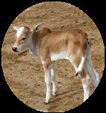 Umblacheri calf