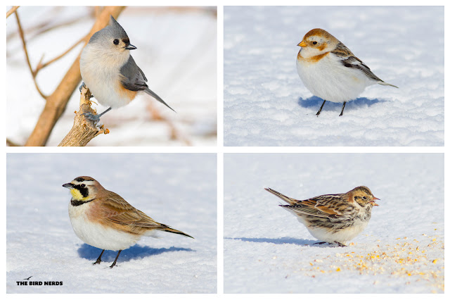 Lapland Longspur seen in Western Hill, St. Catharines